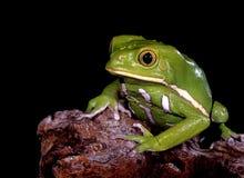 Wächserner Affe-Baum-Frosch. Stockbild