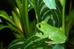 Wächserner Affe-Baum-Frosch Stockfoto