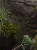 Wächserner Affe-Baum-Frosch Lizenzfreie Stockfotografie