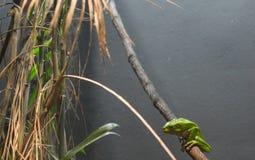 Wächserner Affe-Baum-Frosch Lizenzfreies Stockbild