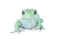 Wächserner Affe-Blatt-Frosch auf weißem Hintergrund Lizenzfreies Stockbild