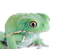 Wächserner Affe-Blatt-Frosch auf weißem Hintergrund Stockbilder