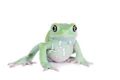 Wächserner Affe-Blatt-Frosch auf weißem Hintergrund Lizenzfreies Stockfoto