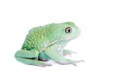 Wächserner Affe-Blatt-Frosch auf weißem Hintergrund Lizenzfreie Stockfotos
