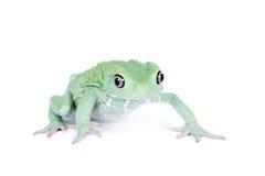 Wächserner Affe-Blatt-Frosch auf weißem Hintergrund Stockfoto