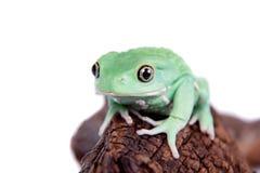 Wächserner Affe-Blatt-Frosch auf weißem Hintergrund Lizenzfreie Stockfotografie