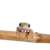 Wächserner Affe-Blatt-Frosch auf weißem Hintergrund Stockfotografie