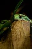 Wächserner Affefrosch (phyllomedusa sauvagii) Stockfotografie