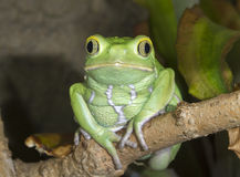 Wächsernes Porträt des Affeblatt-Frosches (Phyllomedusa-sauvagii) lizenzfreies stockbild