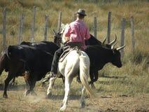Wächter, der die Herde des Stiers reitet lizenzfreies stockbild