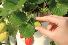 Wählen der Erdbeere am Erdbeerbauernhof Lizenzfreies Stockfoto