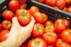 Wählen der Tomaten Lizenzfreie Stockfotografie