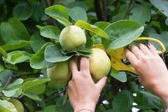 Wählen Sie einen Apfel aus Stockbild
