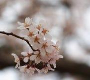 Wählen Sie Fokus Kirschblüte vor Kirschblüte im Frühjahr Schöne rosa Blumen Stockbild