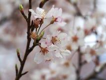 Wählen Sie Fokus Kirschblüte vor Kirschblüte im Frühjahr Schöne rosa Blumen Lizenzfreies Stockfoto