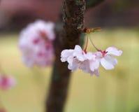 Wählen Sie Fokus Kirschblüte vor Kirschblüte im Frühjahr Schöne rosa Blumen Lizenzfreie Stockbilder
