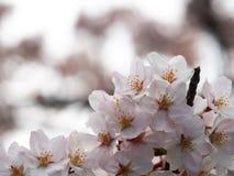 Wählen Sie Fokus Kirschblüte vor Kirschblüte im Frühjahr Schöne rosa Blumen Stockfotos