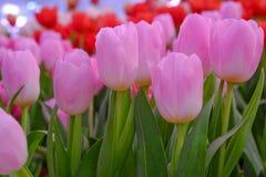 Wählen Sie rosa Tulpe des Fokus vor Stockfotografie