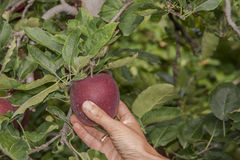 Wählen Sie rote Äpfel aus Lizenzfreies Stockbild