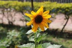 W?hrend die vibrierende, starke Sonnenblume weltweit erkannt f?r seine Sch?nheit ist stockfotos