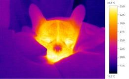 Wärmebildfoto, Hund, Welpe der französischen Bulldogge Stockfotos