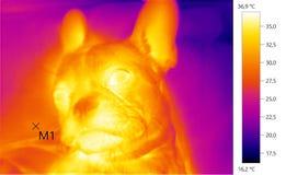 Wärmebildfoto, Hund, Welpe der französischen Bulldogge Lizenzfreie Stockbilder