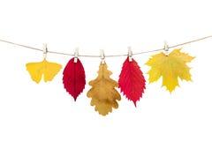 Wäscheklammern auf dem Seil, das Herbstlaub auf einem weißen backgro hält Stockfotos