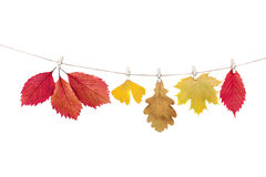 Wäscheklammern auf dem Seil, das Herbstlaub auf einem weißen backgro hält Lizenzfreie Stockfotografie