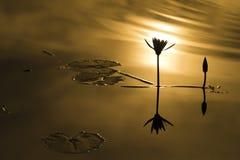 Wässern Sie die lillies, die stark bleiben und unter Sonnenlicht busking Lizenzfreie Stockfotografie