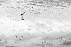 Wässern Sie die Reflexionen des Vogels gehend in das Sumpfgebiet B&W Stockfoto