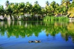 Wässern Sie Enten auf dem Wasser von tropischem See, Dominikanische Republik Stockfotografie