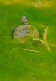 Wässern Sie Schildkröte Lizenzfreies Stockbild