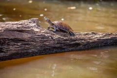 Wässern Sie Schildkröte Podocnemys-unifillis im See Sandoval, Peru Amazon Stockbilder