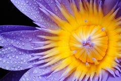 Wässern Sie Tropfen auf bunter purpurroter Wasserlilie des thaila Lizenzfreies Stockbild