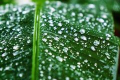 Wässern Sie Tropfen auf dem Blatt nach regnerischem Tag Stockbilder