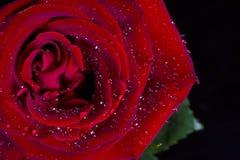 Wässern Sie Tropfen auf der rosafarbenen Blume, die auf schwarzem Hintergrund lokalisiert wird Stockfoto