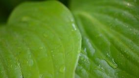 Wässern Sie Tropfen auf frischem grünem Blatt stock footage