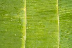 Wässern Sie Tropfen auf grünem Bananenblatt mit Linien Lizenzfreie Stockbilder