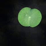 Wässern Sie Tropfen auf grünem Lotosblatt des Gartens lizenzfreie stockfotografie