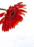 Wässern Sie Tropfen auf schönem rotem Gerbera, Abschluss oben lizenzfreies stockfoto