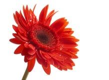 Wässern Sie Tropfen auf schönem rotem Gerbera, Abschluss oben stockbilder