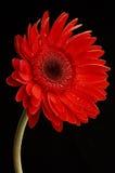 Wässern Sie Tropfen auf schönem rotem Gerbera, Abschluss oben stockfotos