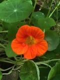 Wässern Sie Tropfen auf schöner orange Blume, grüner Hintergrund Lizenzfreies Stockbild