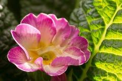 Wässern Sie Tropfen innerhalb einer Blume der Primel Primera Stockbild