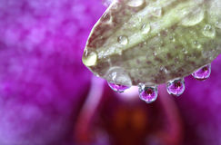 Wässern Sie Tropfen mit Orchideen-Blumen-Reflexion, Makro Stockbilder