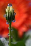 Wässern Sie Tropfen mit Reflexion auf einer Blumen-Knospe, Makro Lizenzfreie Stockbilder