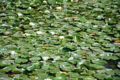 Wässern Sie weiße Lotos auf dem Teich, Hintergrund stockbilder