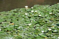 Wässern Sie weiße Lotos auf dem Teich, Hintergrund lizenzfreie stockbilder