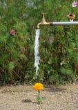 Wässernblume Lizenzfreie Stockfotos