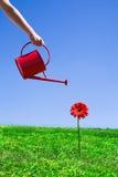 Wässernblume der Frau Lizenzfreies Stockbild